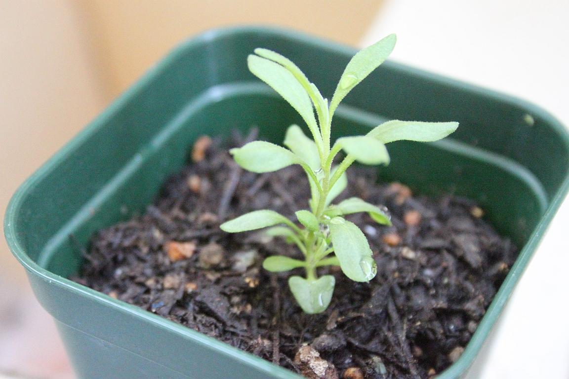 ハーブを種から育てよう!ラベンダーの種まきについてまとめました!のサムネイル画像