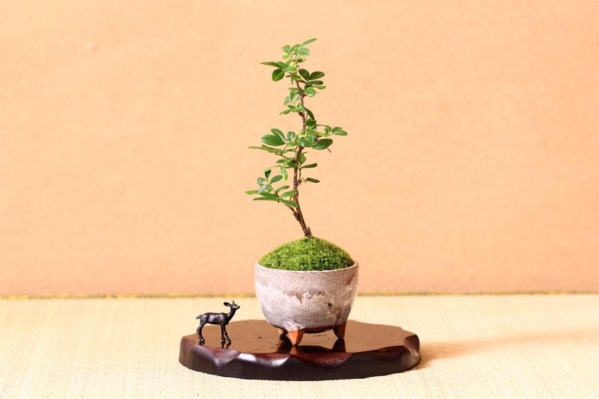 【盆栽入門】盆栽は老人の趣味じゃない!外国でもブームだよ!のサムネイル画像