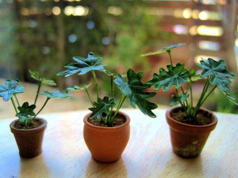 緑を取り入れて生活をオシャレに♪人気の観葉植物セロームの育て方!のサムネイル画像