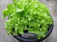 採れたてを食べよう!プランターで簡単野菜作り。ベランダ菜園にも!のサムネイル画像