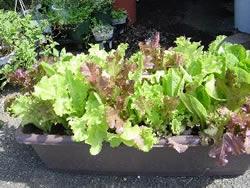 一人暮らしでも初心者でも大丈夫!プランター栽培で野菜を育てよう!のサムネイル画像