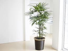 【竹の観葉植物編】『なにあれっ!?気になる!!竹の観葉植物!?』のサムネイル画像