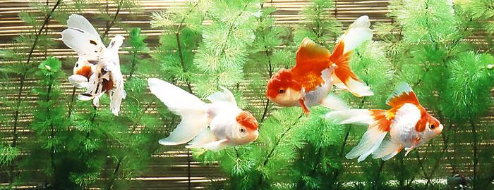 癒しの空間 アクアリウムの愛らしい金魚と安らぎのひとときを♪のサムネイル画像