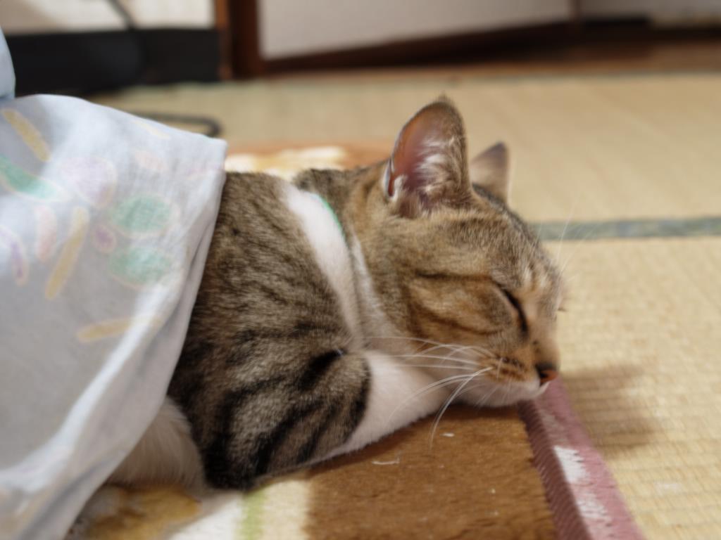 ここがすみかだニャン☆可愛い!こたつ猫☆猫はこたつで丸くなるのサムネイル画像