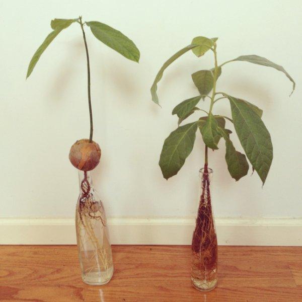 どうするの?アボカドを観葉植物に変身させる育て方とは!?のサムネイル画像