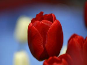 チューリップの球根を植えて☆咲くのが楽しみな春を心待ちに!のサムネイル画像