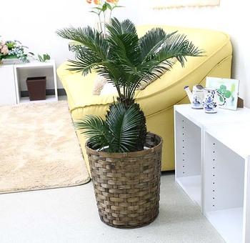 【生きた化石】大人気の観葉植物・ソテツの栽培方法まとめ!のサムネイル画像
