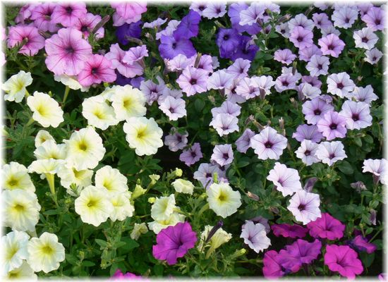 寄せ植え初心者におすすめ!簡単綺麗に咲くペチュニアの魅力をご紹介のサムネイル画像