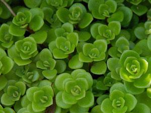 花が咲くような姿がかわいい多肉植物セダム、植え替えの方法をご紹介のサムネイル画像