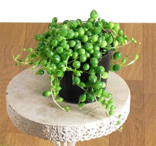 コロコロしてて可愛い!観葉植物で人気のグリーンネックレスのサムネイル画像