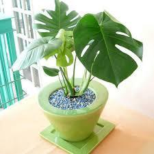 観葉植物の鉢植えをご紹介!お部屋の空気清浄にも役立つ観葉植物のサムネイル画像