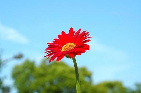 毎年咲かせよう!鉢植えの【ガーベラ】を上手に育てる5つのポイントのサムネイル画像