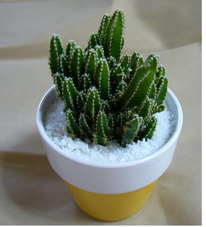 サボテンだけじゃない多肉植物。意外に難しい手入れ方法を解説!のサムネイル画像