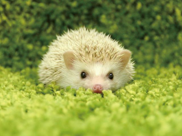 ペットとして大人気の小動物【ハリネズミ】の価格が知りたい!のサムネイル画像