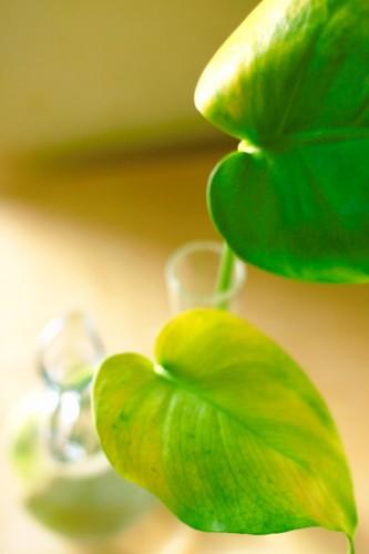 【今も昔も定番】葉っぱの形が独特な観葉植物・モンステラの育て方!のサムネイル画像