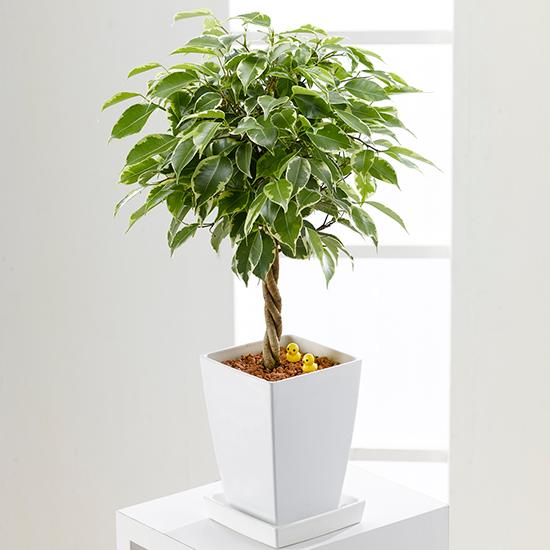 インテリアに大人気の観葉植物!ベンジャミンの育て方まとめのサムネイル画像
