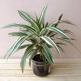 縁起の良い観葉植物ドラセナ、育て方が解れば幸福の木を我が家にも!のサムネイル画像