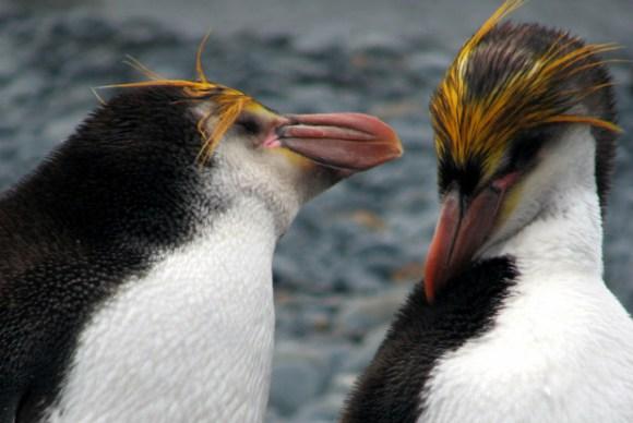 ペンギンにはどんな種類がいるの?様々なペンギンをご紹介!のサムネイル画像
