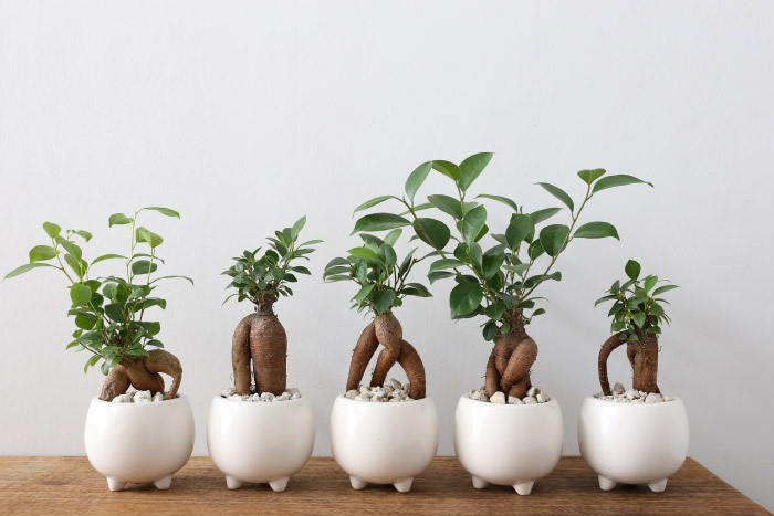 観葉植物のガジュマル☆神秘の木と呼ばれるガジュマルを育てよう!のサムネイル画像