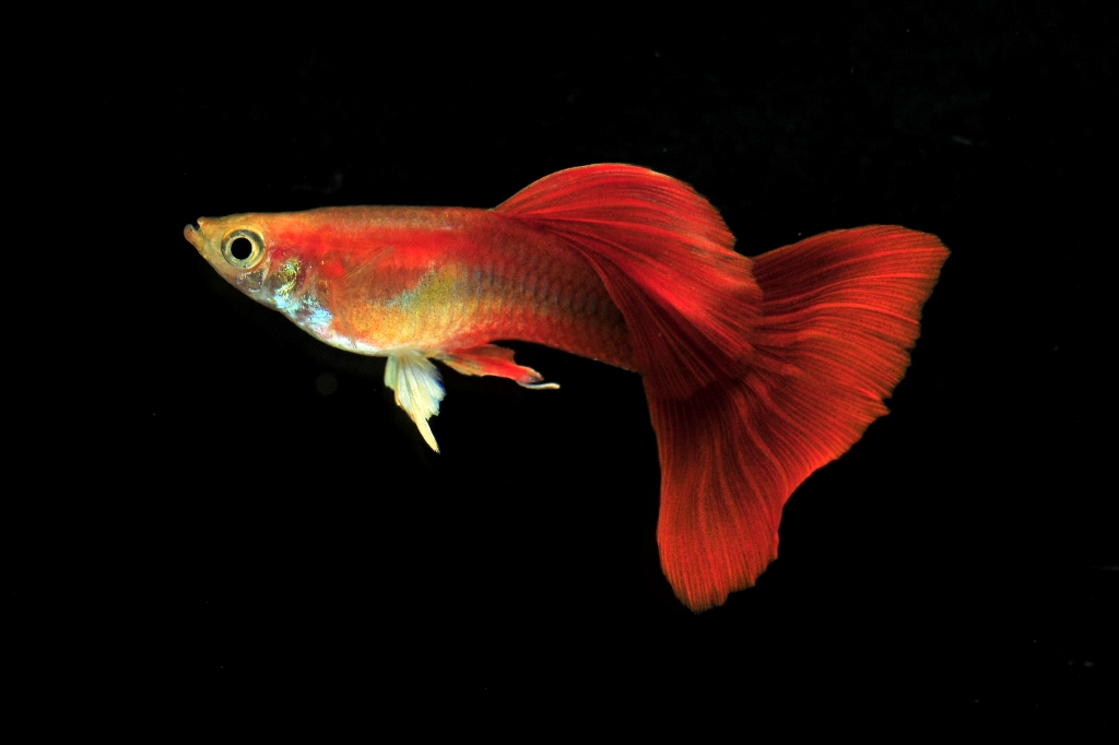 初心者向けの熱帯魚特集!飼育しやすい熱帯魚について紹介します。のサムネイル画像