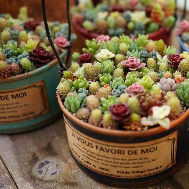 多肉植物を育てている人必見♡多肉植物の上手な水やりと育て方まとめのサムネイル画像