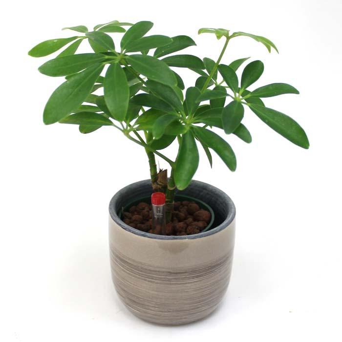 観葉植物カポックの育て方!植え替え、剪定、挿し木の方法は?のサムネイル画像