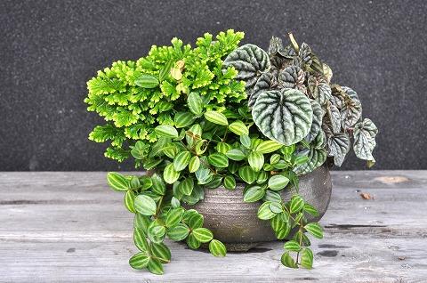 いろんな形が楽しめる観葉植物ペペロミアの育て方と増やし方!のサムネイル画像