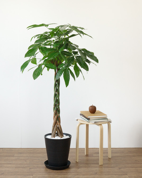 グリーンインテリアを増やそう!パキラの挿し木の仕方を紹介しますのサムネイル画像