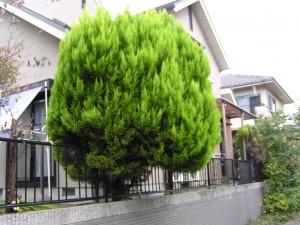 庭木を植えようとお考えの方に。育てやすくてオススメの庭木ご紹介!のサムネイル画像