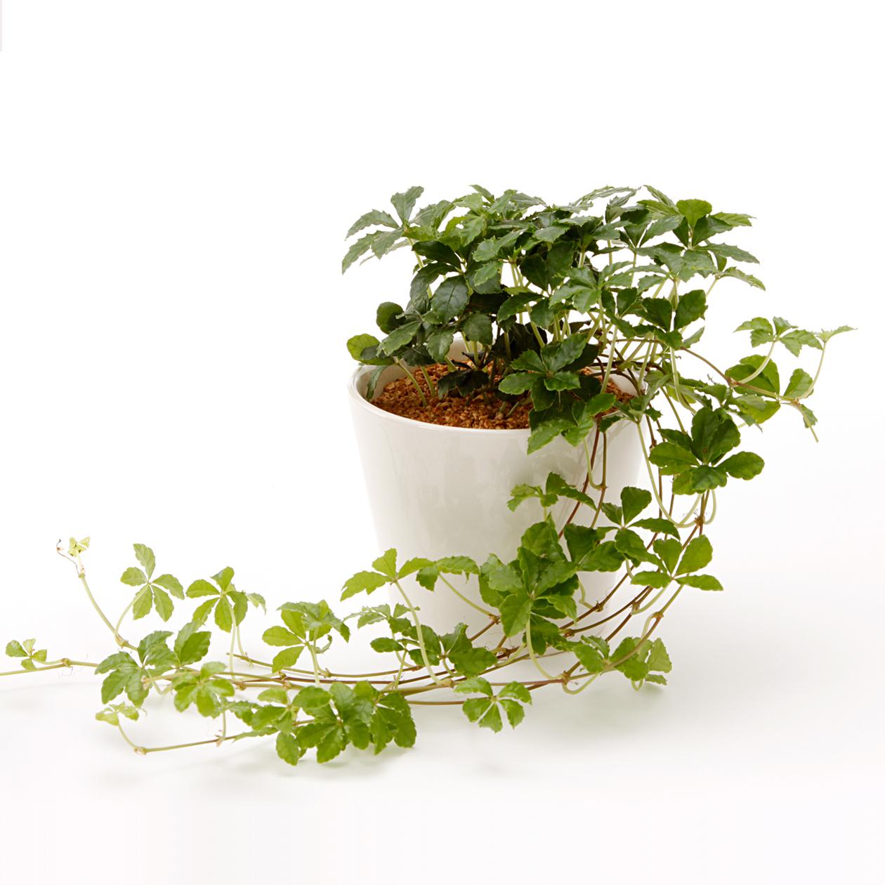 可愛らしい観葉植物、シュガーバインでインテリアを楽しみましょう!のサムネイル画像