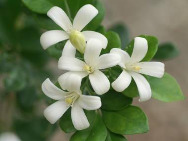 恋愛運がアップする?☆観葉植物「シルクジャスミン」を育てよう!のサムネイル画像