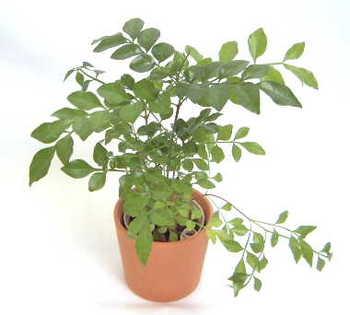 小さくツヤのある葉がカワイイ☆観葉植物 シマトネリコを育てよう!のサムネイル画像