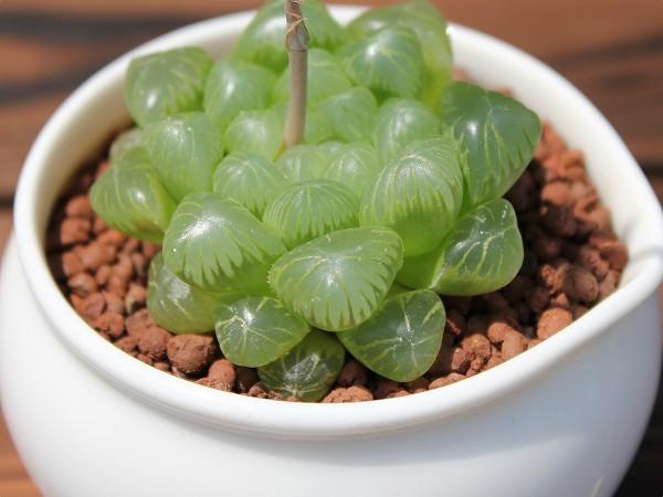 インテリアプランツとして大人気☆多肉植物ハオルチアを育てようのサムネイル画像