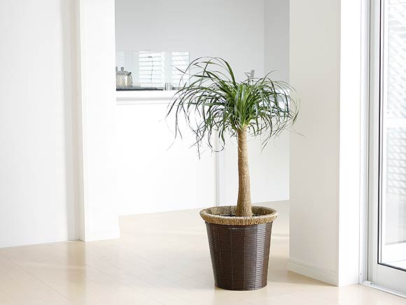 観葉植物 ポニーテール(トックリラン)の育て方と花言葉とは?のサムネイル画像