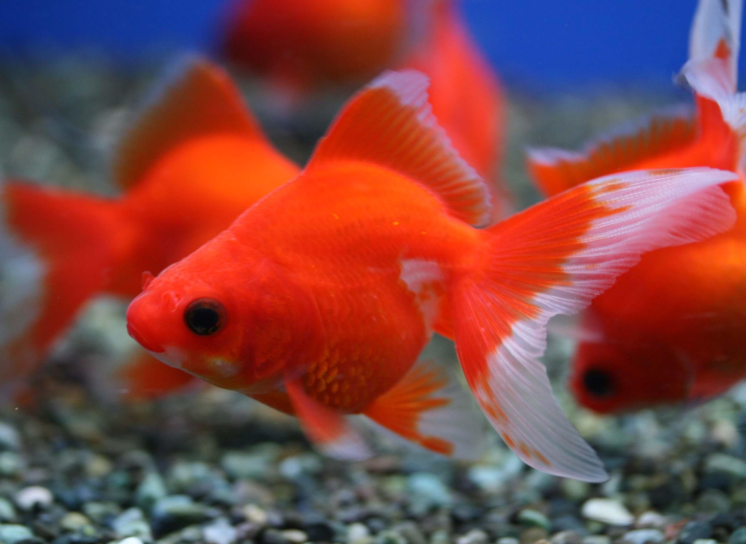 【淡水魚特集!】飼育難易度の低い人気の生体を紹介します。のサムネイル画像