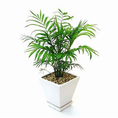 観葉植物のテーブルヤシの育て方!植え替え、剪定の時期や方法!!のサムネイル画像
