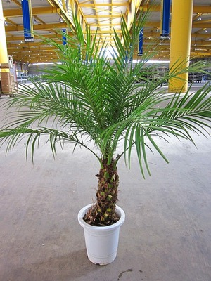 南国ムード漂うヤシ系の植物☆観葉植物フェニックスを育てよう!のサムネイル画像