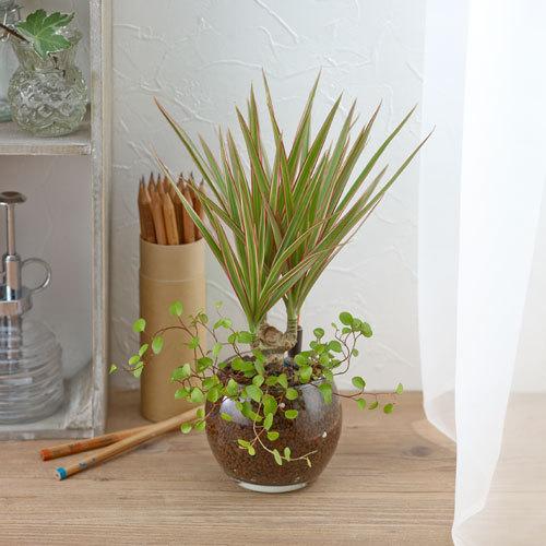 比較的育てやすい☆さわやかな観葉植物「コンシンネ」を育てよう!のサムネイル画像