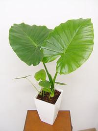 初心者でも大丈夫!人気の観葉植物、クワズイモの育て方をご紹介のサムネイル画像