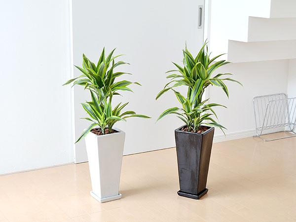 空気清浄効果のある観葉植物が話題に!人気商品をまとめてみました。のサムネイル画像