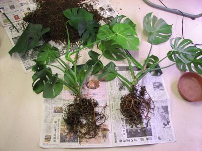 観葉植物を株分けで増やしたい方に、株分けの技を伝授!必見です。のサムネイル画像