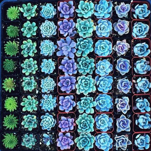 【栽培】可愛くて育てやすい多肉植物を葉挿しで増やして楽しもう!のサムネイル画像