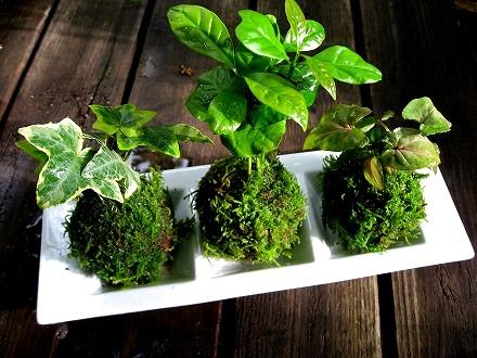 【水苔の育て方】すべての植物を瑞々しく健康にするヒーロー♪のサムネイル画像