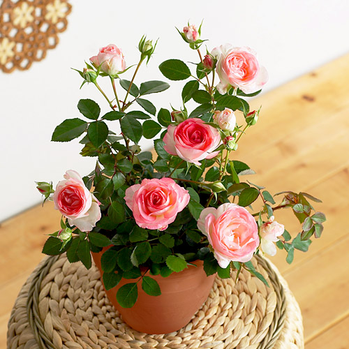 バラを鉢植えで育ててみよう!鉢植え栽培に向くバラと育て方のサムネイル画像
