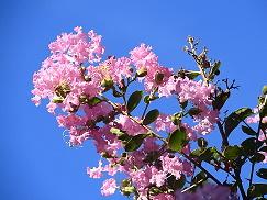 サルスベリ、別名「百日紅」の育て方 花の見ごろや木の剪定方法のサムネイル画像
