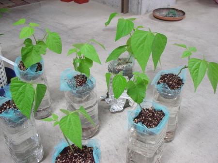 自宅で簡単にできる!ペットボトルで野菜やハーブを水耕栽培!のサムネイル画像
