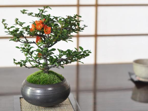 盆栽を始めてみたい!初心者でも取り組める盆栽をご紹介します!のサムネイル画像