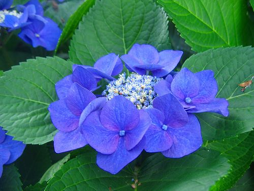より美しく咲かせるために!アジサイの剪定方法をまとめてみましたのサムネイル画像