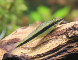 水草水槽にピッタリな熱帯魚は?おすすめの生体をまとめました。の画像