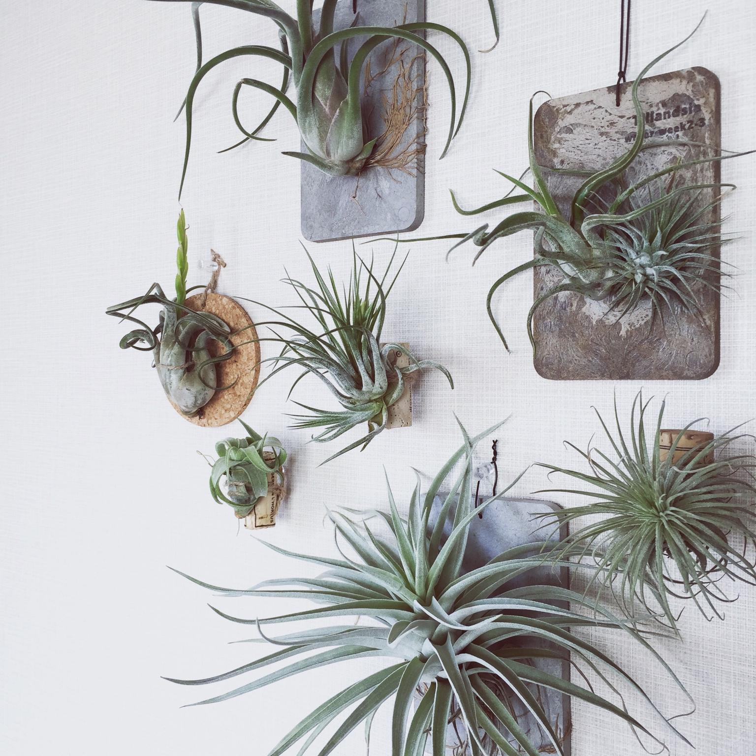 観葉植物を壁に飾り、洗練されたインテリアコーディネートを目指すのサムネイル画像